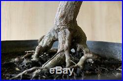 Old Green Japanese Maple Specimen Bonsai Kifu Momiji Neagari Big Thick Trunk