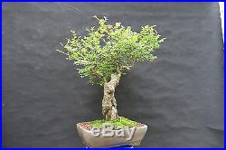Old Imported Chinese Elm Bonsai Small Leaf Variety