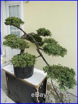 Old Juniper San Jose Bonsai Tree, SALE