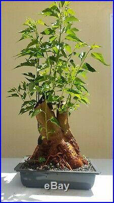Old Mulberry Bonsai Tree (Fruit Tree), Short Sale