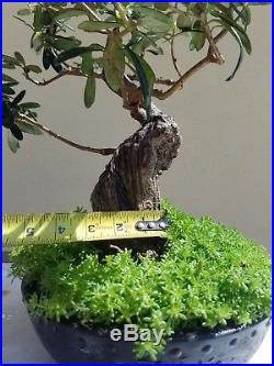 Old Olive Tree, Bonsai Tree, Sale