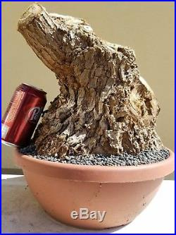 Old Red Coral Tree, Bonsai Tree, Sale