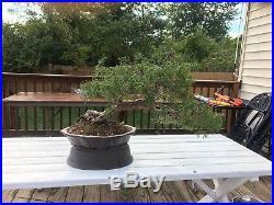 Old Rocky Mountain Juniper Collected Yamadori Bonsai Tree