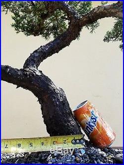 Old San Jose Juniper Bonsai Tree, Sale