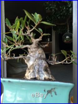 Old Shohin Willow Leaf Ficus TLC SALE PRICE! GREAT POTENTIAL