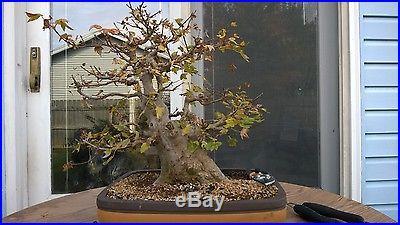 Old Trident Maple Bonsai