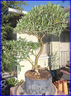 Olive San Fernando Pre Bonsai Dwarf Kifu Big Fat Trunk Nice Nebari