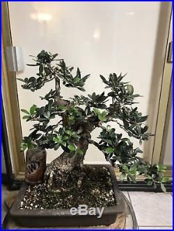 Olive Specimen Bonsai
