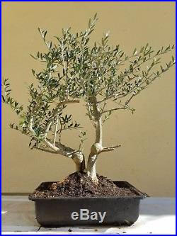 Indoor Bonsai Olive Tree Bonsai Tree Dwarf Fruitless Olive Tree Sale Http Indoorbonsai Biz
