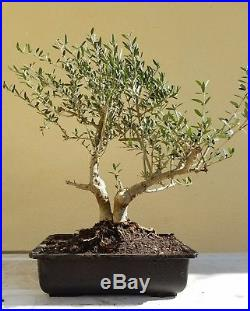 Olive Tree, Bonsai Tree (Dwarf Fruitless Olive Tree), Sale