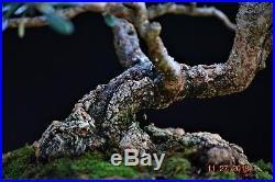 Olive bonsai, Olea europaea, small-leaf Small/Medium size Slanting Style