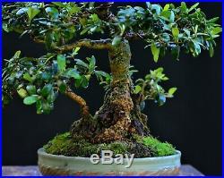 Olive bonsai (Olea europaea) small-leaf variety small size Sumo-style