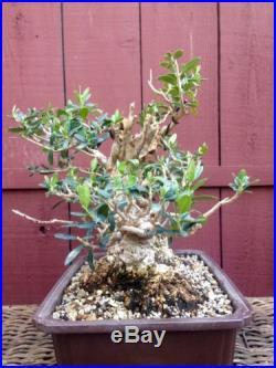 Olive bonsai specimen sumo