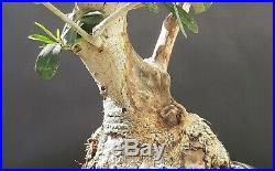 Olive tree Bonsai A 35 year old plant From the private collection