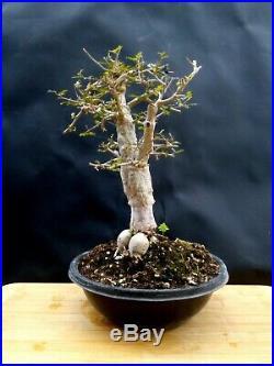 Operculicarya Decaryi Bonsai- Natural bonsai unusual plant