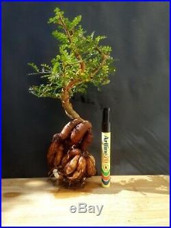 Operculicarya Decaryi Bonsai- Natural bonsai unusual plant From Madagascar