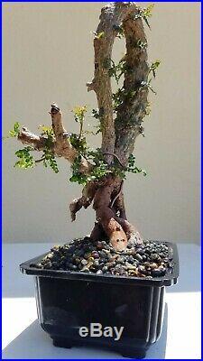 Operculicarya Decaryi Bonsai Tree, SALE