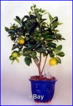 Orange Citrus Bonsai Tree Indoor Fruiting Bonsai 8 years old & 15 20 tall