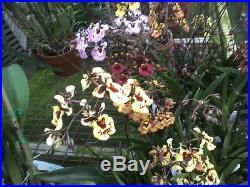 Orchid Equitant Oncidium Tolumnia Tropical Plants 20 plant package
