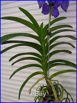 Orchid, Vanda,' V. Coerulea, Blue', South Florida Grown