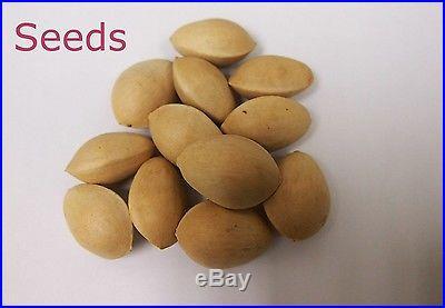 Organic 5 Ginkgo biloba gingko Maidenhair Tree seeds nuts Bonsai Tree T019