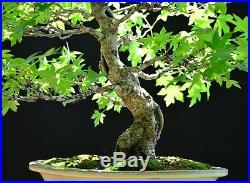 Oriental Sweetgum #1 (Liquidambar orientalis) bonsai large size