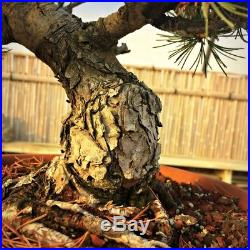 Over 30 Years Old Japanese Imported White Pine Bonsai Tree