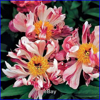 PEONY 'PINK SPINNERS' 3-5 EYES BARE ROOT
