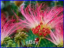 PERSIAN SILK TREE Albizia julibrissin 10 bonsai seeds tree