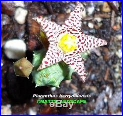 PIARANTHUS BARRYDALENSIS, 1 Gal, Plant, (s), Succulent, Very, Rare