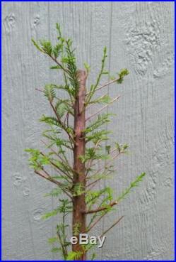 PRE BONSAI BALD CYPRESS TREE #172. 22