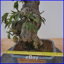 Prunus Mume Yabai Ume Apricot Bonsai