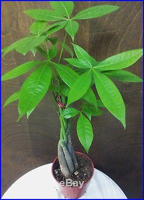 Pachira Aquatica AKA Money Tree Bonsai Zen Chinese Fung Shui Plant Gift
