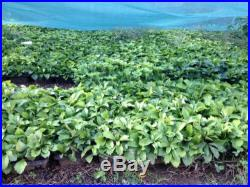 Pachysandra 200 Plants Ridiculously Low Price A+Quality Free Shipping