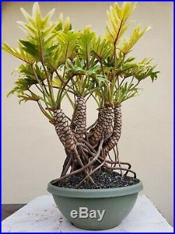 Philodendron Xanadu Golden Bonsai Tree, SALE