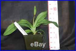 Phragmipedium kovachii x besseae in spike 4 inch pot