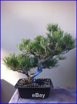 Pine Bonsai Japanese Black Pine Specimen Bonsai Juniper Bonsai