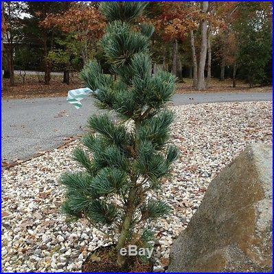 Pinus parviflora 'Aoi' Pre Bonsai. In 2 Gal Pot 30. Tall 18 wide