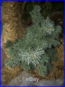 Pinus parviflora' Pent Azuma' Crashing Wave Dwarf Japanese White Pine 7 Gal