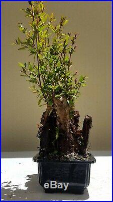 Pomegranate Bonsai Tree (Fruit Tree), Sale