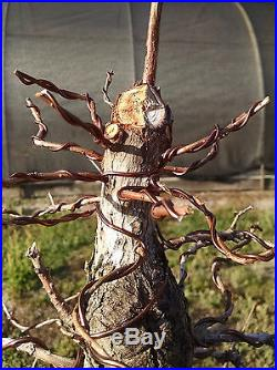 Pond Cypress Bonsai, Highly Trained Bonsai, Fully Wired, Excellent character