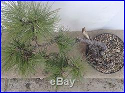 Ponderosa Pine Yamadori Bonsai