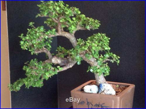 Portulacaria Afre (Jade) Windswept Bonsai
