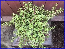 Portulacaria afra Cork Bark Jade Bonsai Specimen