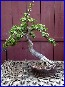 Portulacaria bonsai specimen