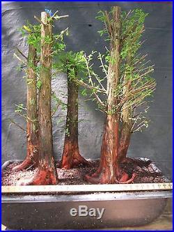 Pre Bonsai 5 Tree Bald Cypress Forest #614