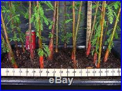 Pre Bonsai Bald Cypress 19 Tree Forest