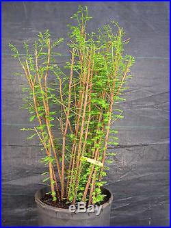 Pre Bonsai Bald Cypress 21 Tree Forest #407