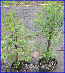 Pre Bonsai Bald Cypress #236