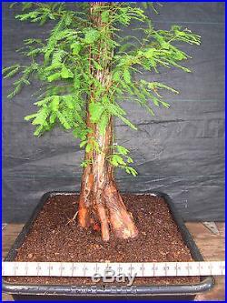 Pre Bonsai Bald Cypress #292